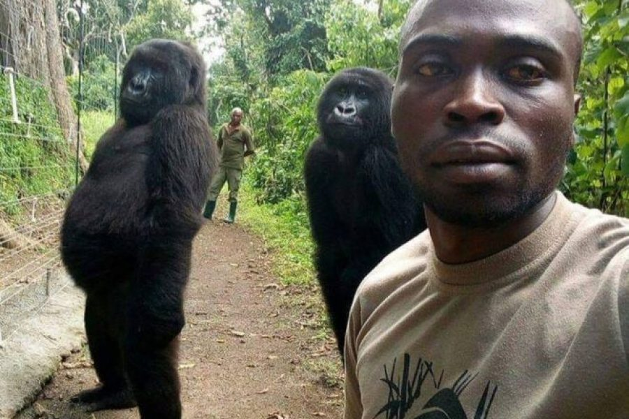 Gorillas pose for Selfies in the DRC