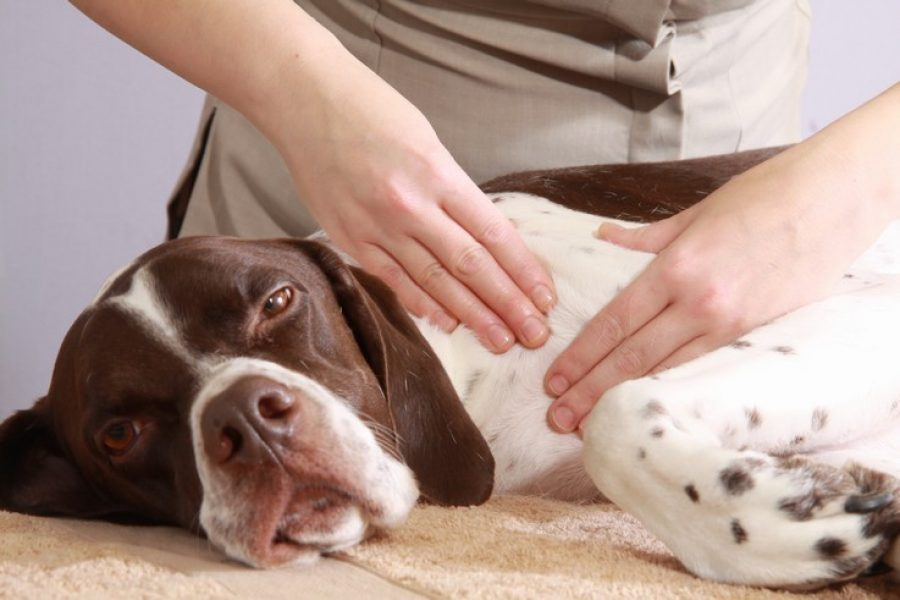 Bailey's Hi-5: 5 Steps to Massage your Dog