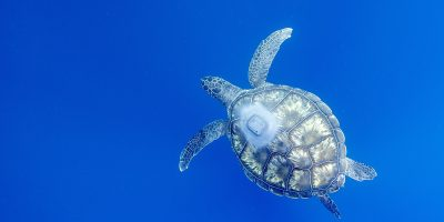 FAREWELL TO ALVI – TWO OCEANS AQUARIUM RELEASES 35 TURTLES