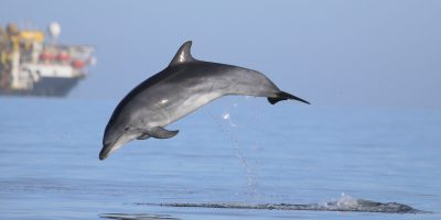 Watch: Individual dolphin calls used to estimate population size and movement in the wild