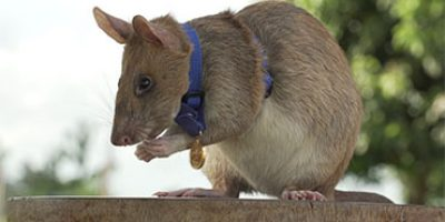 Watch: Landmine detection rat wins Britain's highest award for animal bravery
