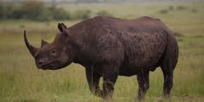 World Rhino Day: WWF South Africa celebrates the work to grow the numbers of critically endangered black rhino