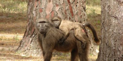 New company to manage City's Urban Baboon Programme