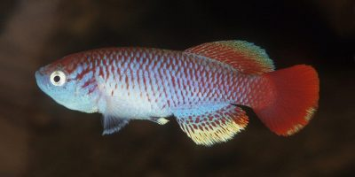 Small fish species from the Serengeti named after Sir David Attenborough!