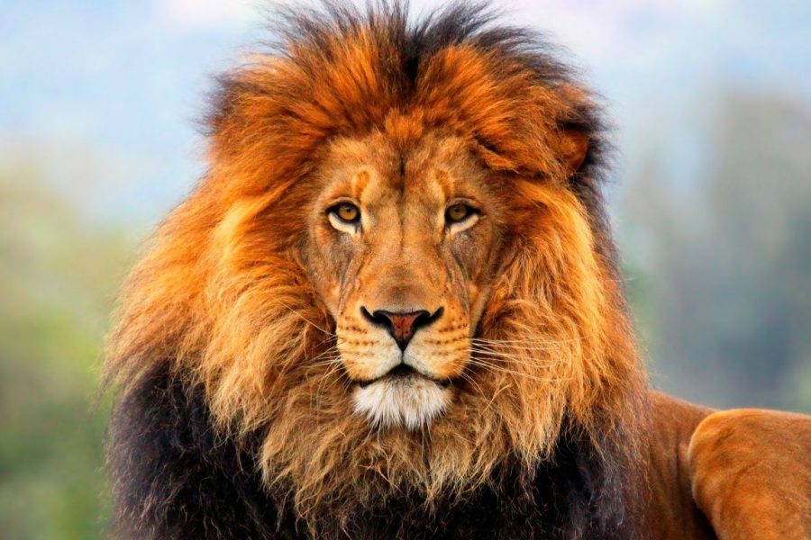 South Africa bans captive breeding of lions