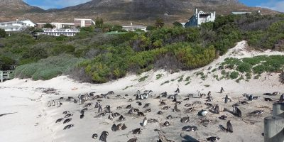 SANParks investigating after 63 African penguins from Boulders beach found dead, presumably after being stung by bees