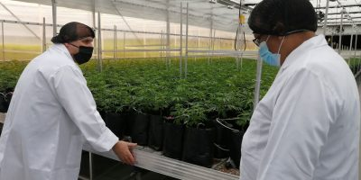 Western Cape Agriculture Department to boost and support local cannabis industry
